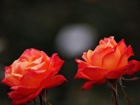 109_s_9208_ep1_50-200swd_薔薇_オレンジ_神代植物公園_20111127.jpg