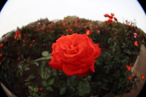 205_s_IMG_3499_60d_8-15feye_薔薇_オレンジ_神代植物公園_20111127.JPG
