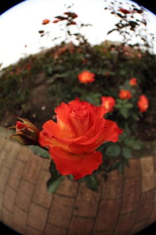 207_s_IMG_3500_60d_8-15feye_薔薇_オレンジ黄色_神代植物公園_20111127.JPG